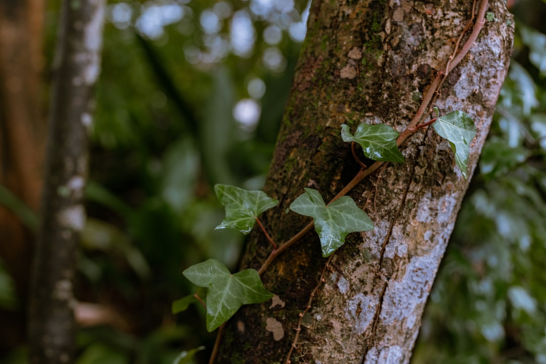 Beautiful water splotched ivy growing on a small tree
