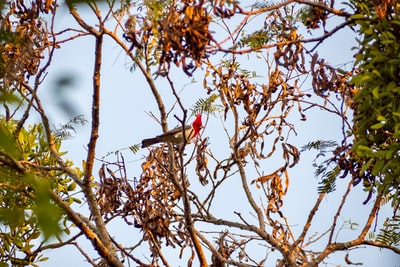 red and black bird on brown tree branch during daytime paraguay zoom background