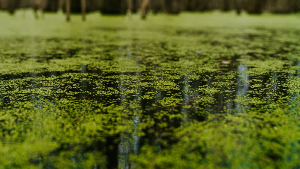 green water lilies on water