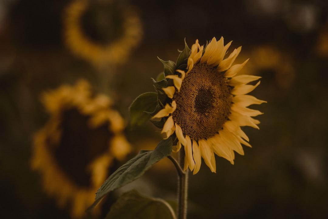 Sunflower - unsplash