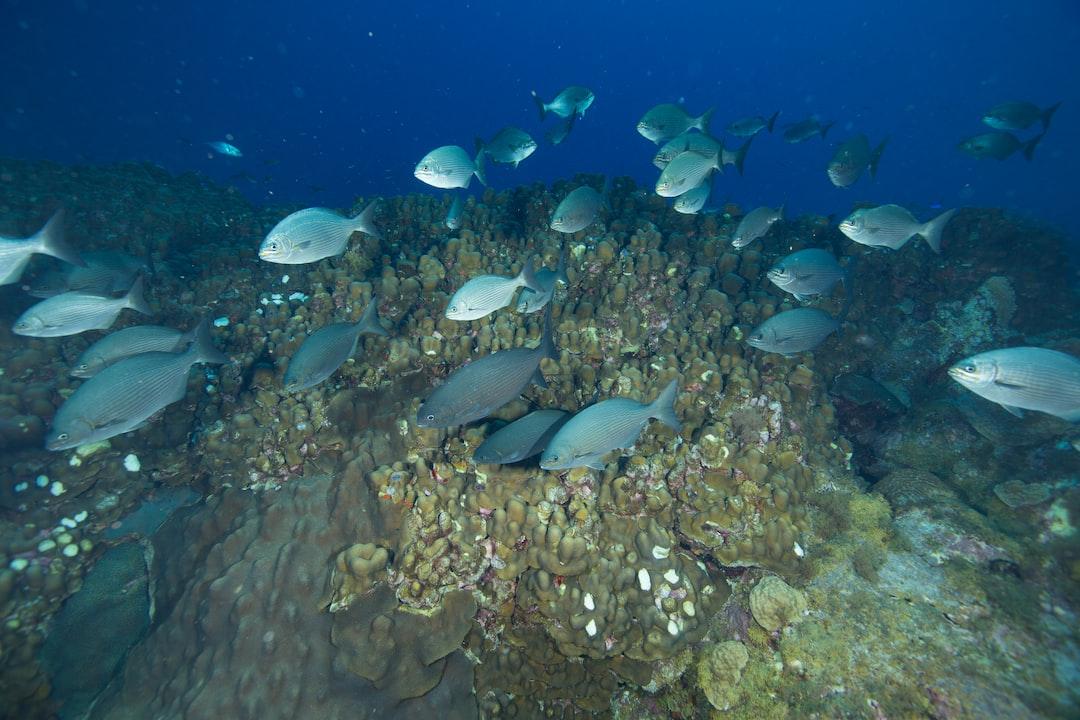 A school of chub swims swim over the reef.