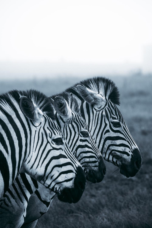 grayscale photo of zebra on field