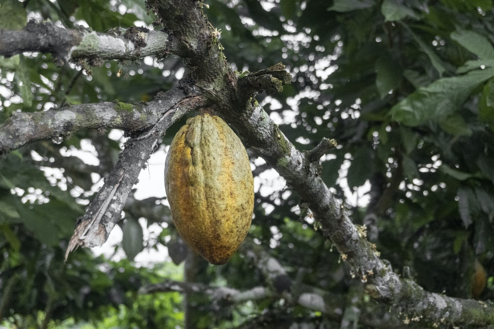 yellow and green fruit on tree