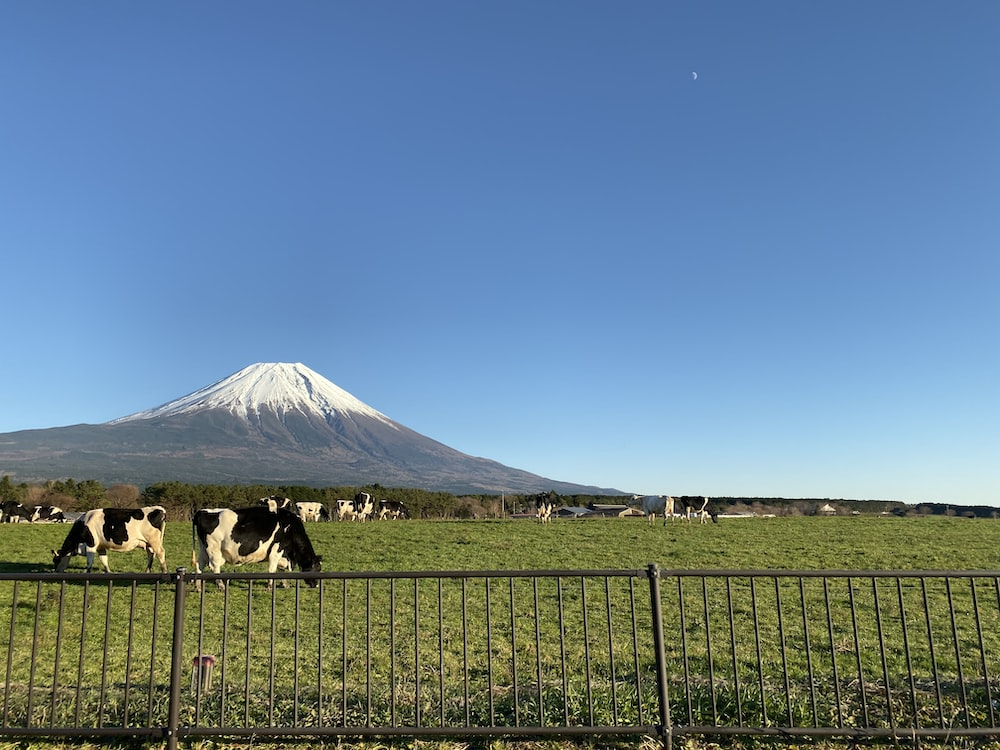 white and black cow on green grass field near mountain under blue sky during daytime