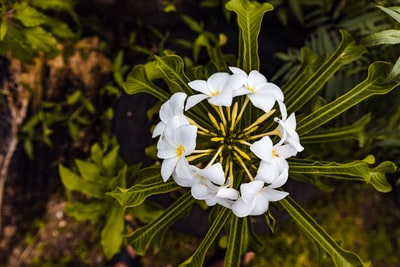 white flowers in tilt shift lens fiji zoom background