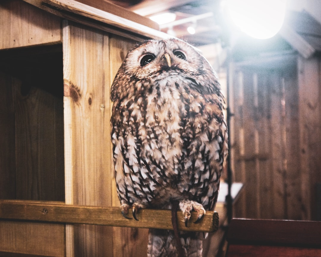 Tawny Owl sitting on his prototype Tawny Owl Nest Box, checking to make sure it'll be suitable for his family.