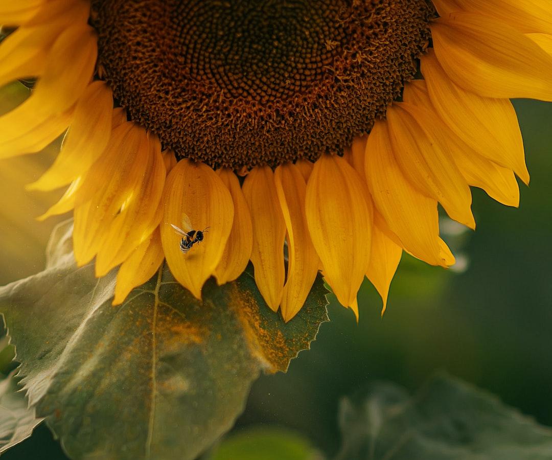Sunflower and Bee - unsplash