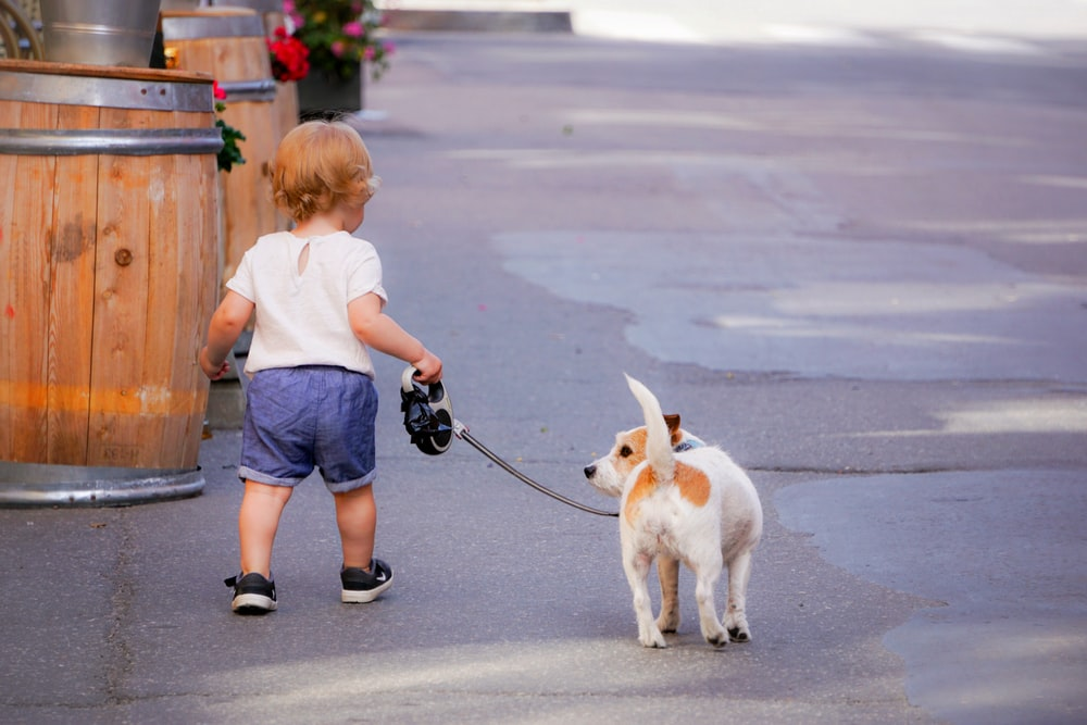 girl in blue t-shirt and blue denim shorts holding leash of white and brown jack