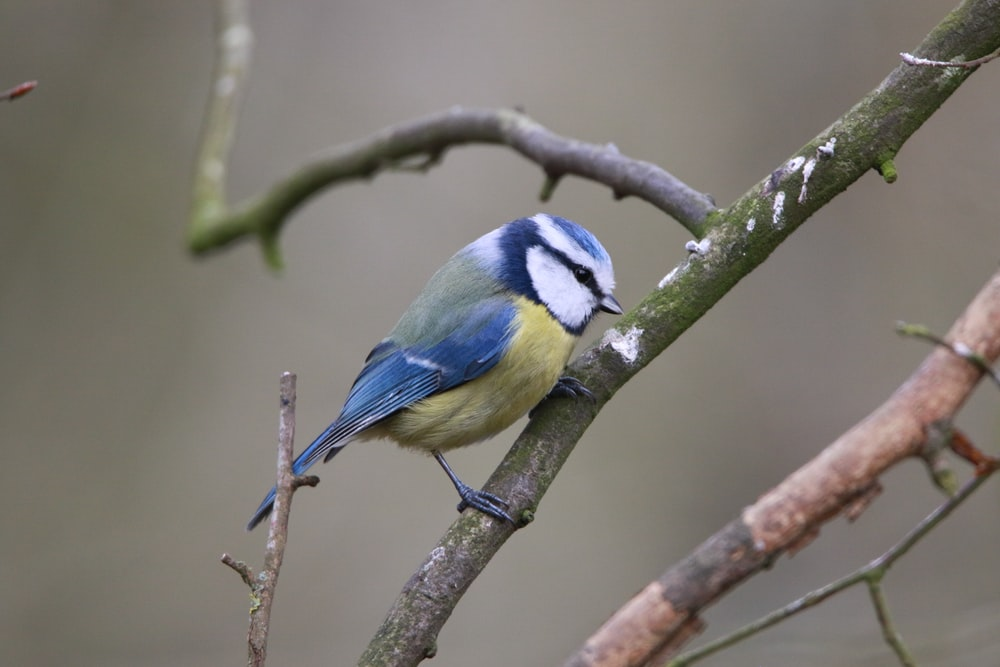 blue white and black bird on tree branch