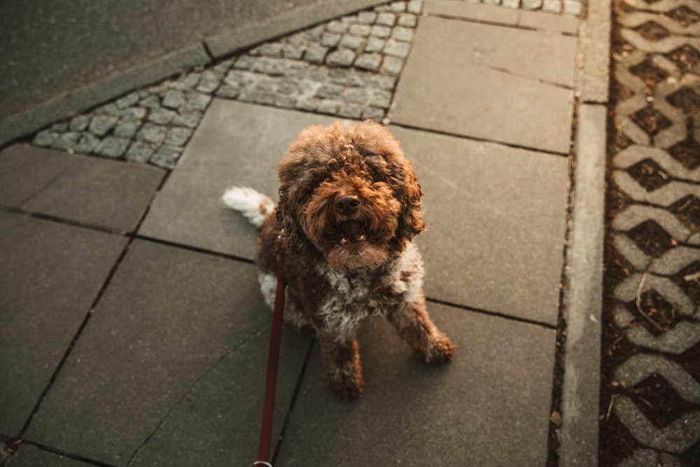 brown long coated small dog on gray concrete pavement