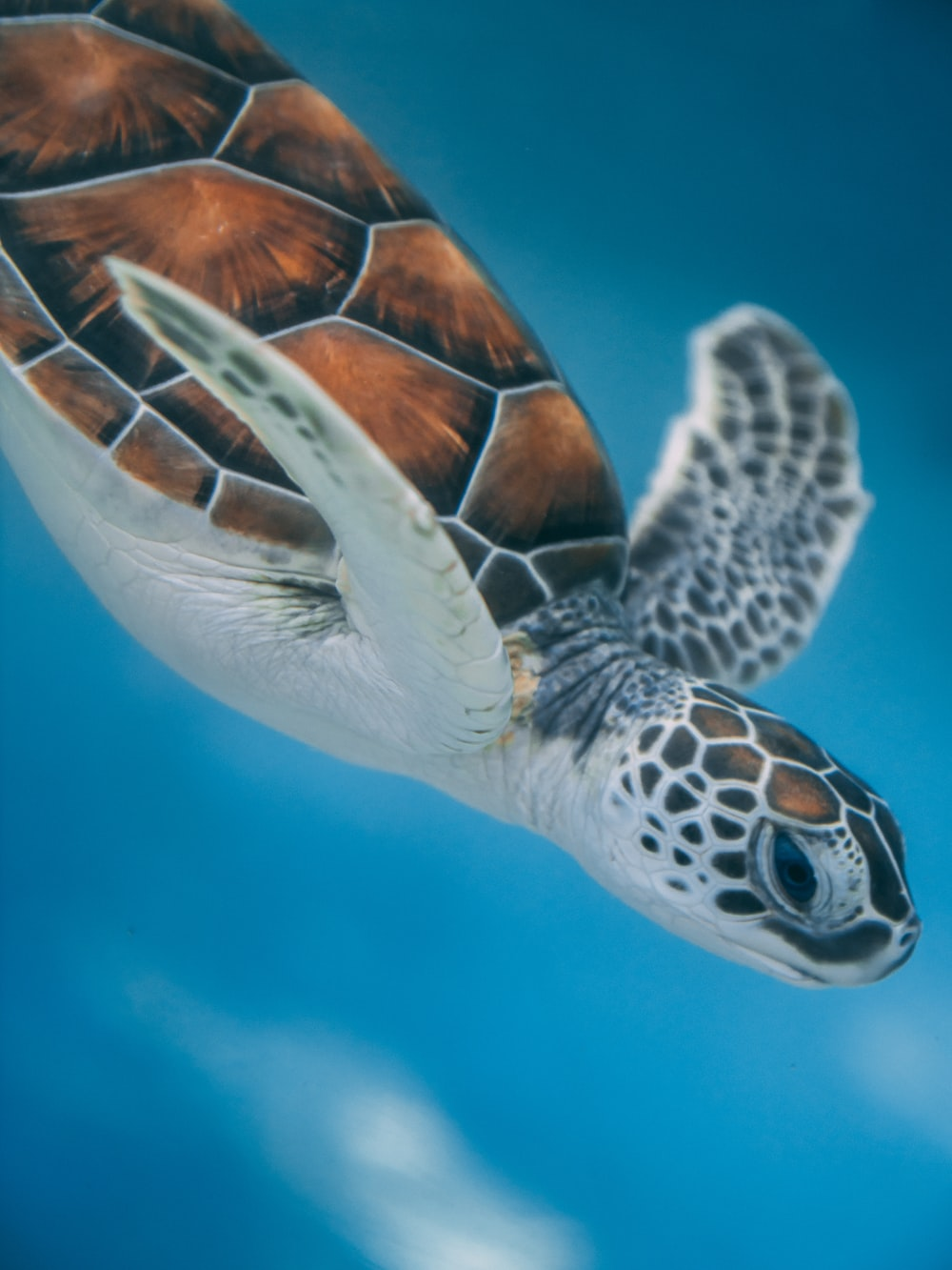 brown and white turtle in water
