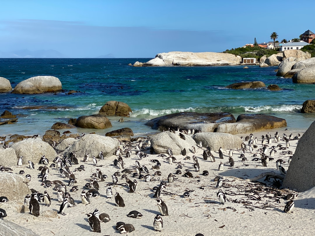 The Boulders Beach Penguins Colony at Simon's Town, South Africa, at the evening. All are chilled
