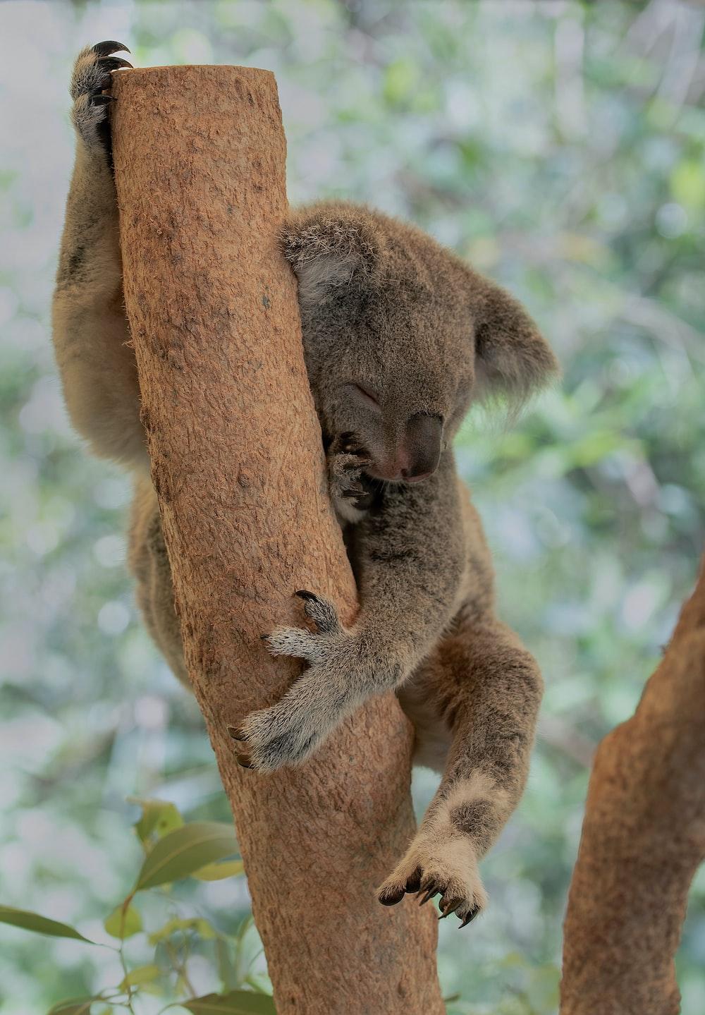 brown koala bear on brown tree during daytime