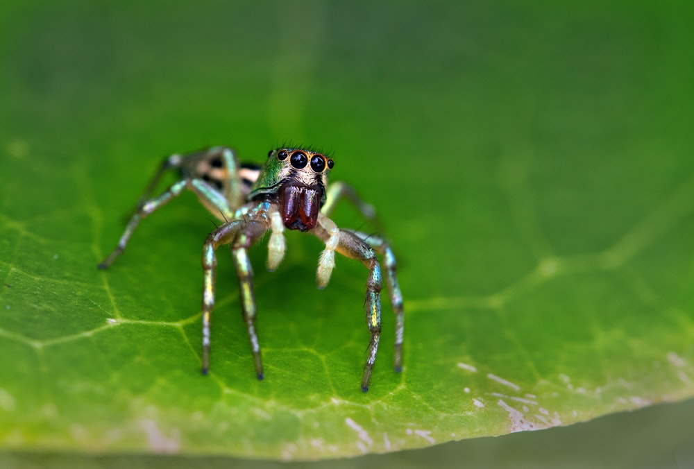 brown and black jumping spider on green leaf
