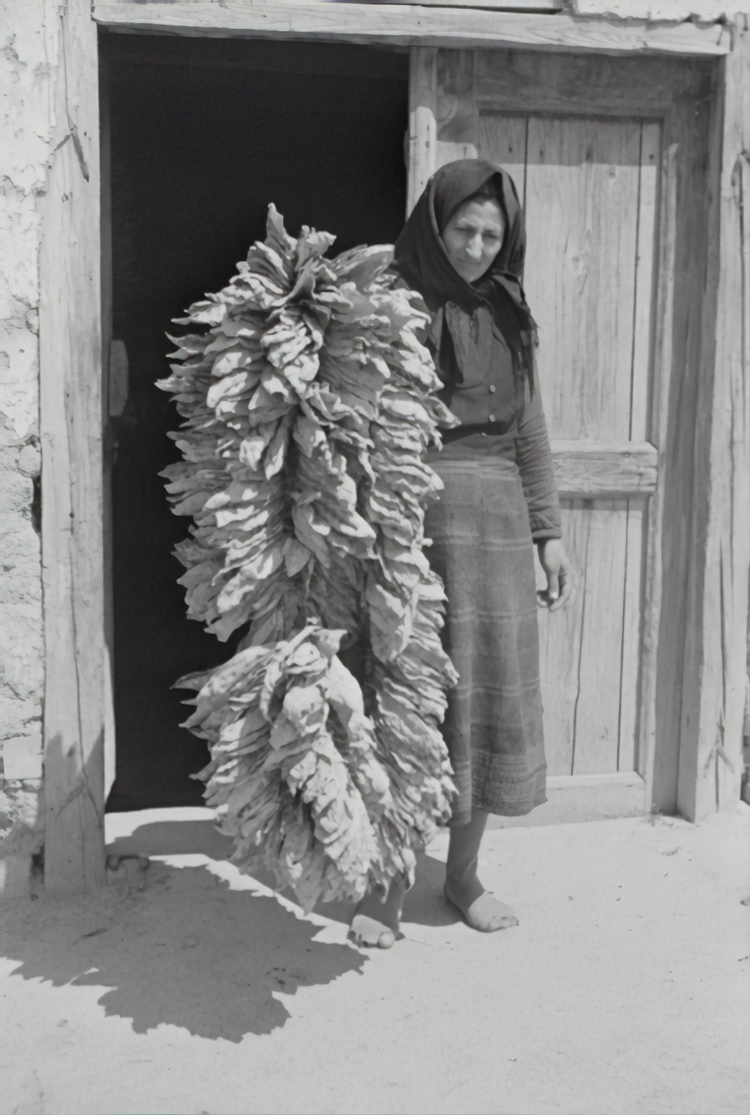Stein plant: tobacco leaves. 1941