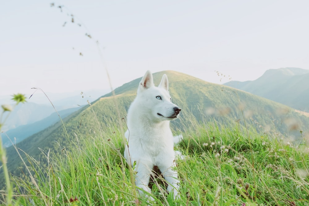 white siberian husky puppy on green grass field during daytime