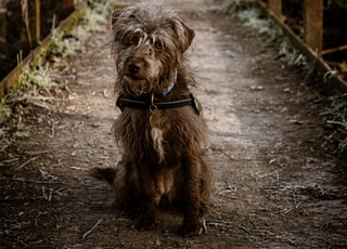brown long coat small dog walking on pathway during daytime