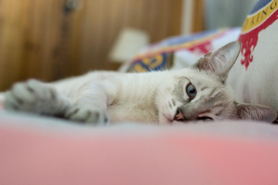 Cat - siames