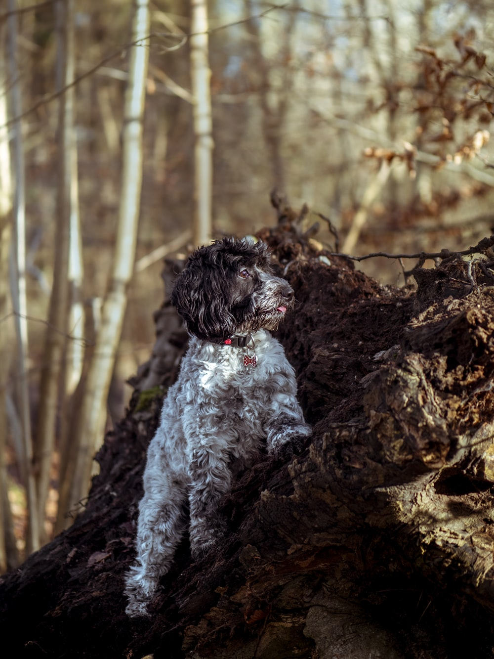 black and white poodle puppy on brown tree trunk during daytime