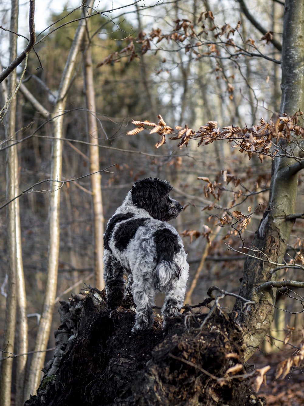 white and black short coat medium dog on brown dried leaves during daytime