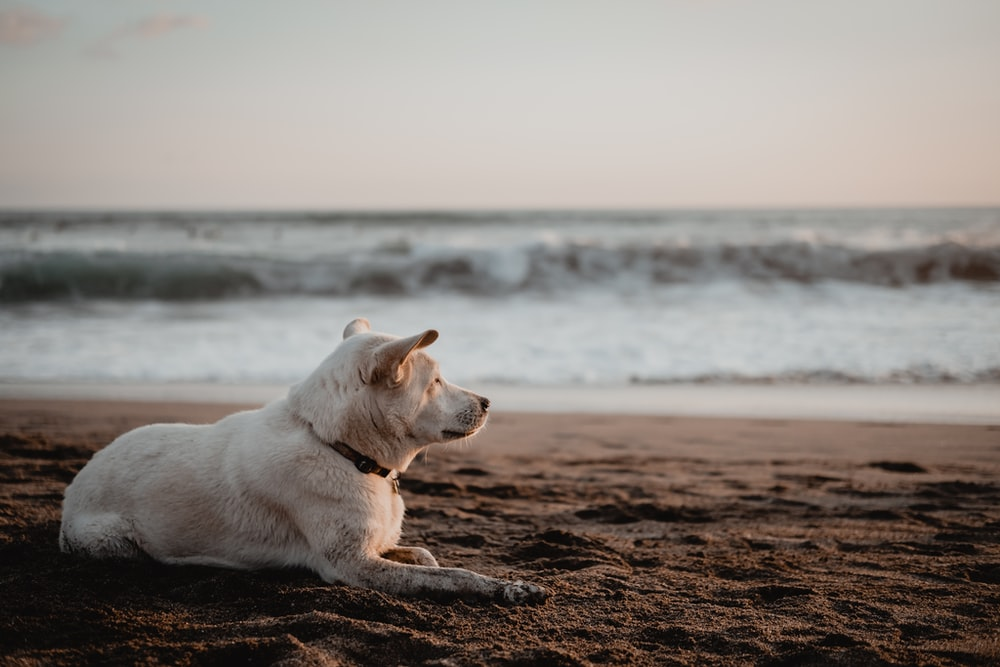 white short coated dog lying on brown sand near body of water during daytime