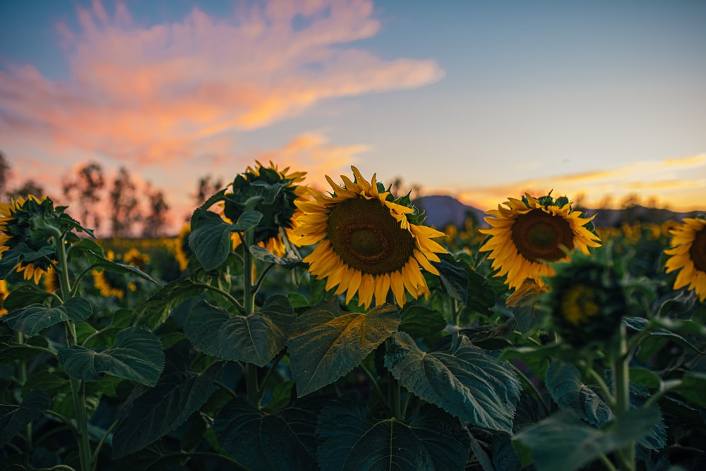 sunflower field under cloudy sky during daytime