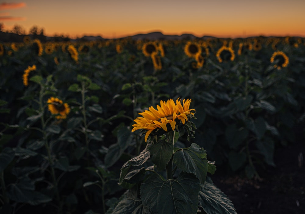yellow sunflower in bloom during sunset