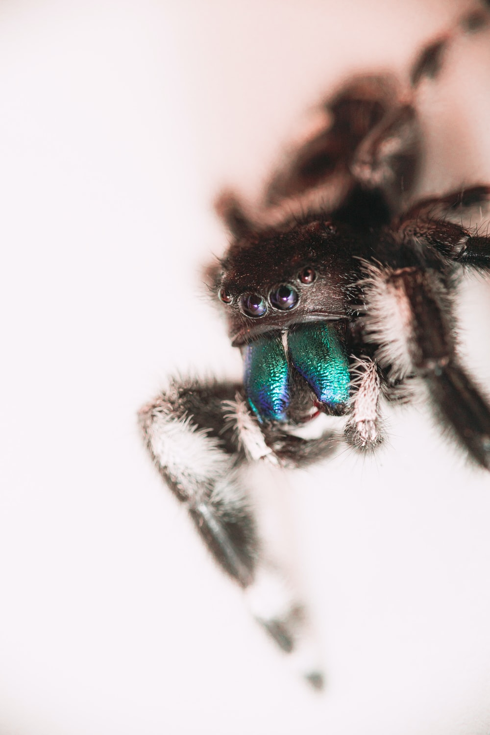 black and green jumping spider