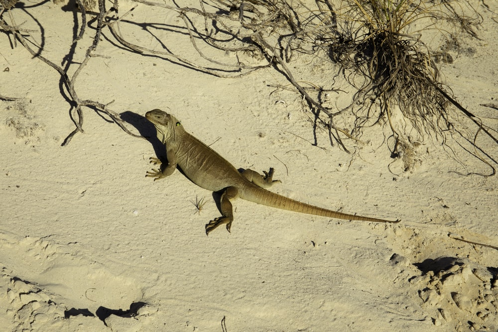 brown lizard on white sand during daytime