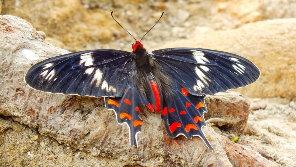 black white and red butterfly on brown soil in close up photography during daytime