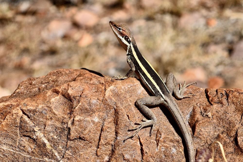 black and brown lizard on brown rock