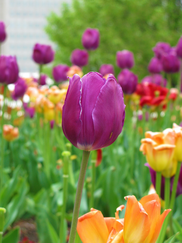 Springtime in Chicago. Tulips blooming in the gardens around Millennium Park.