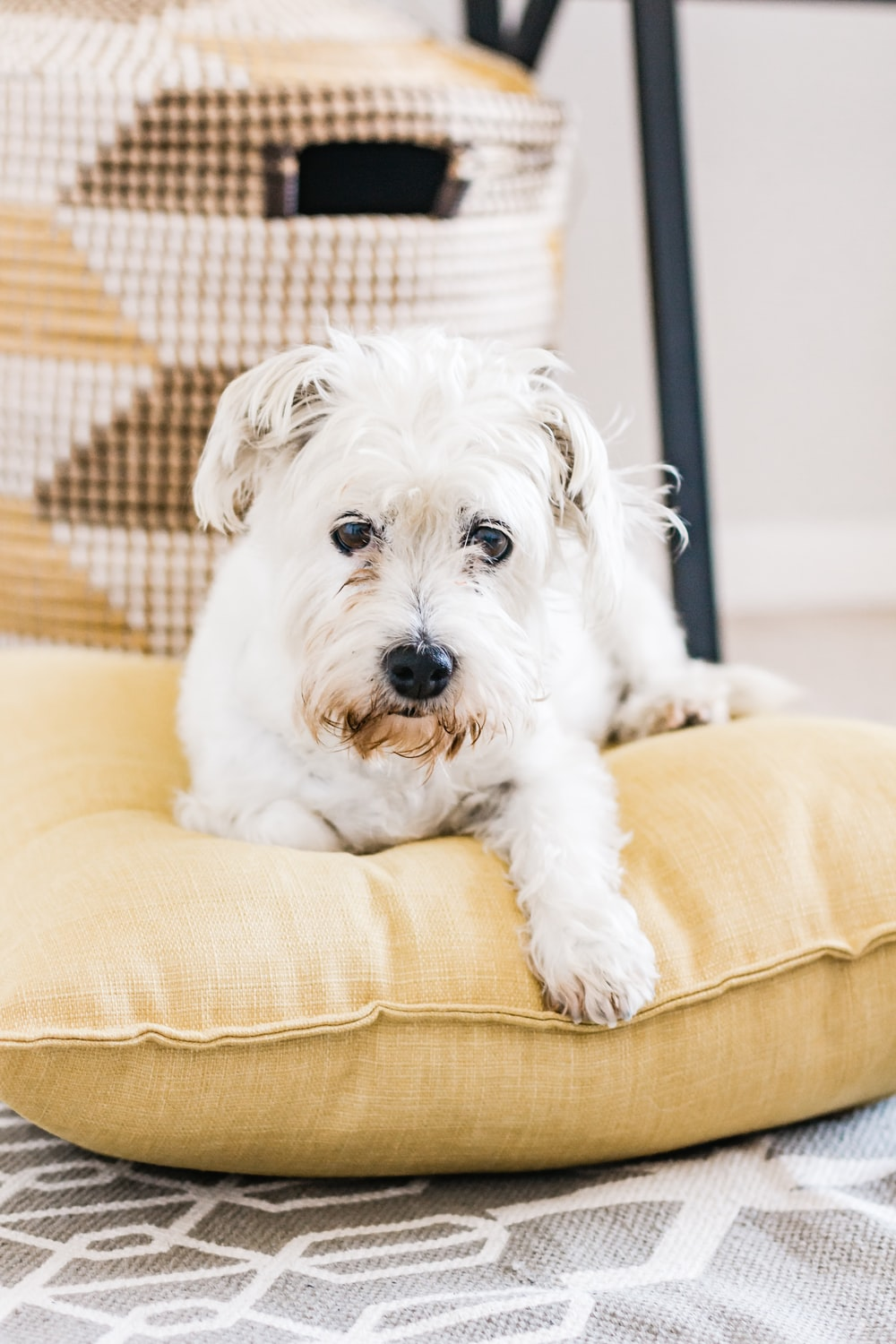 white long coat small dog on brown sofa