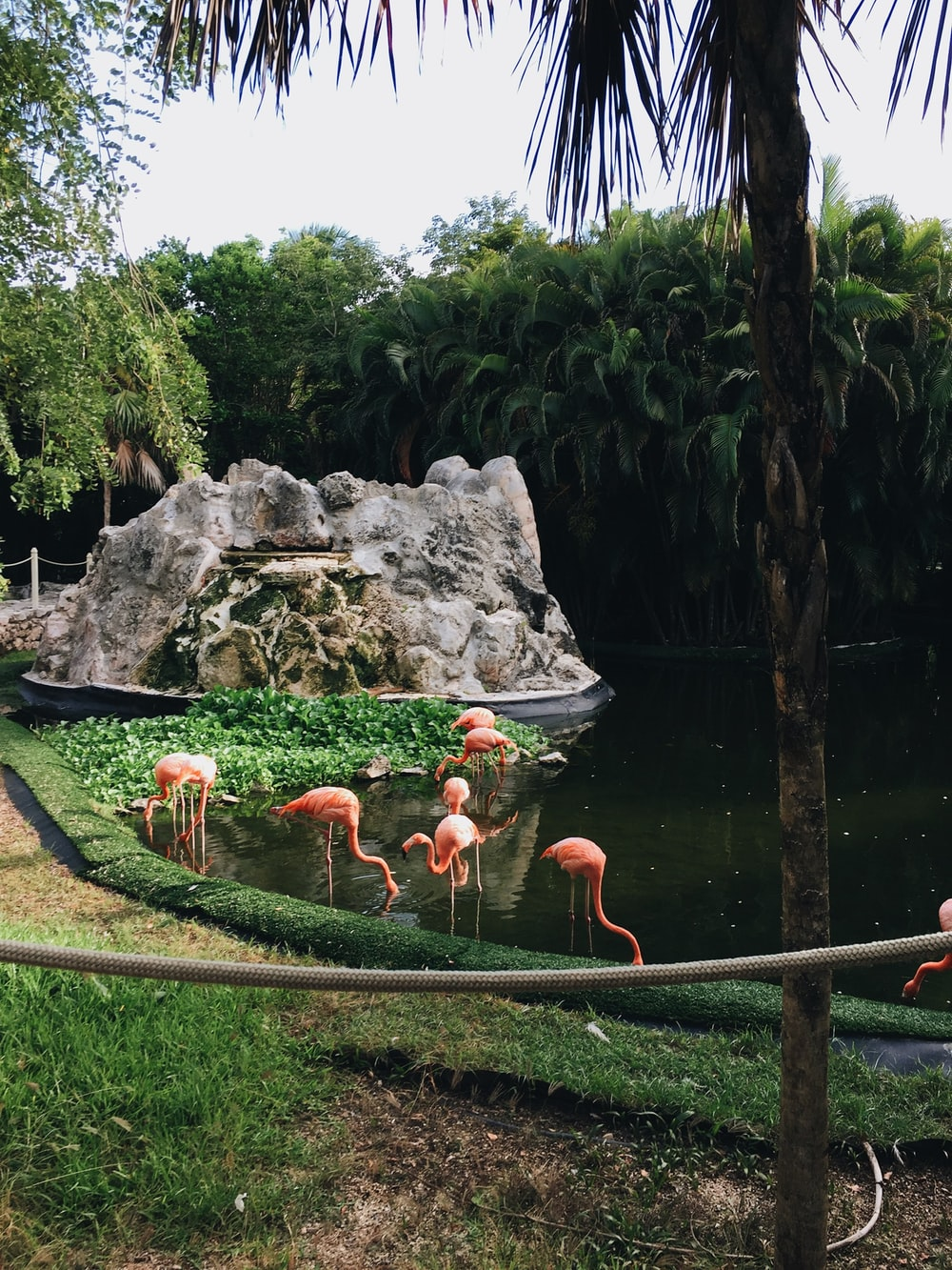 orange and white flamingos on water