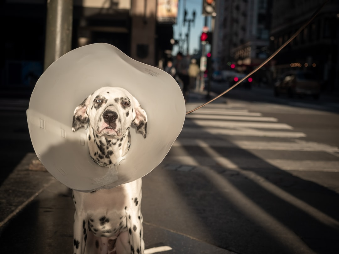 This dog hates their cone of shame ;(