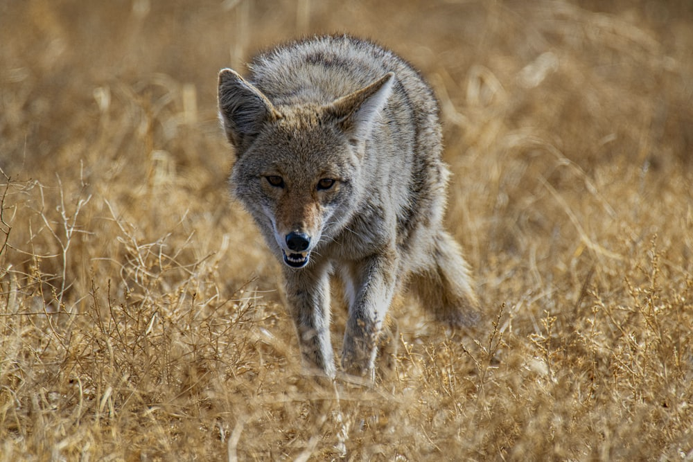 black and white fox on brown grass field during daytime