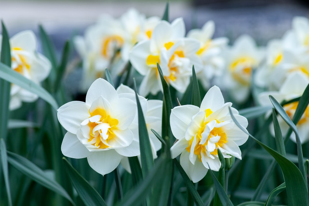 White and Yellow Daffodils In Bloom During Daytime - unsplash