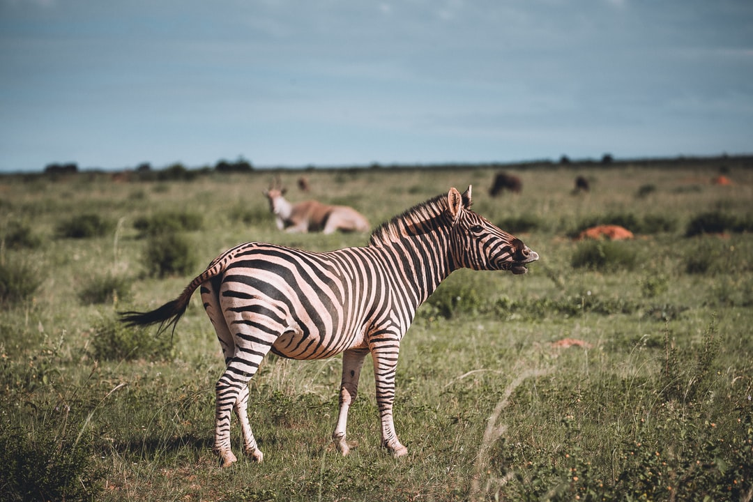 Zebra with Eland Antilope in the Background during Safari in South Africa!