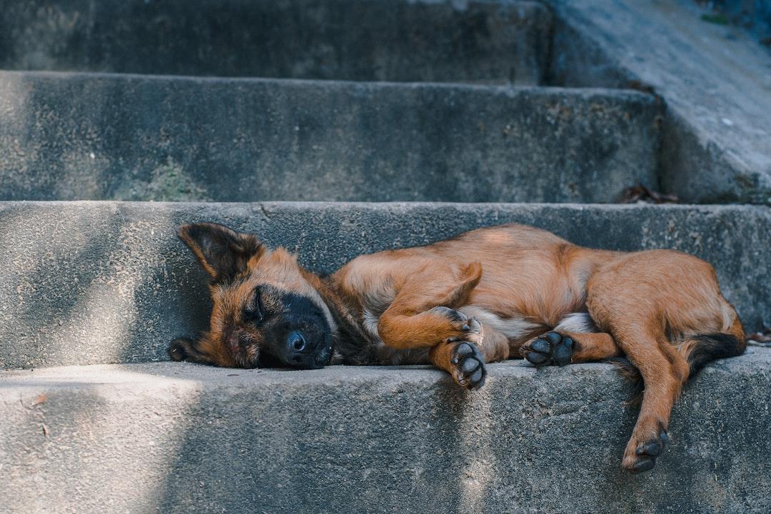 Dog nap. Vietnam.