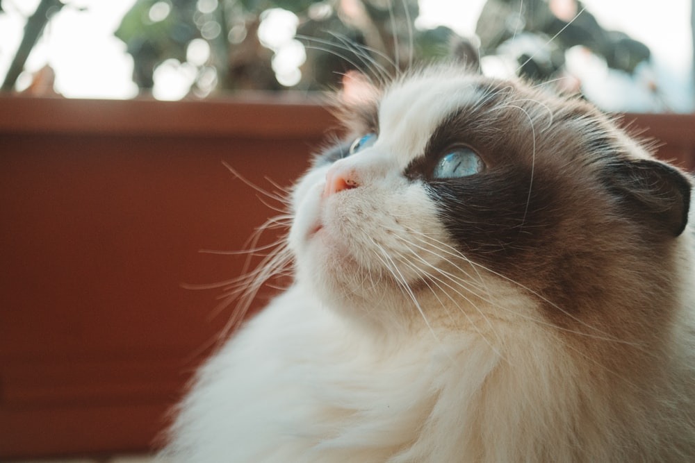white and brown cat with blue eyes