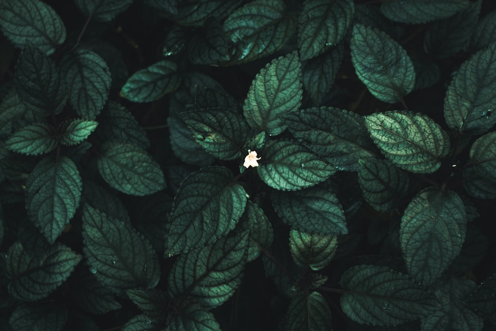 green leaves with white flower