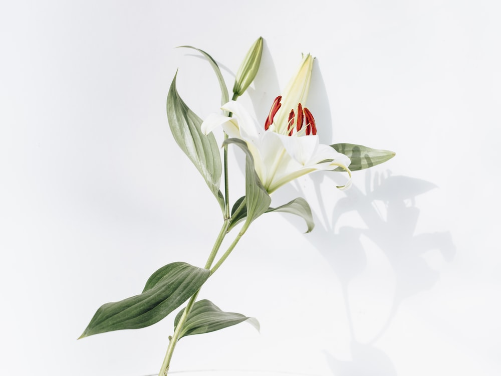 white and red flower with green leaves