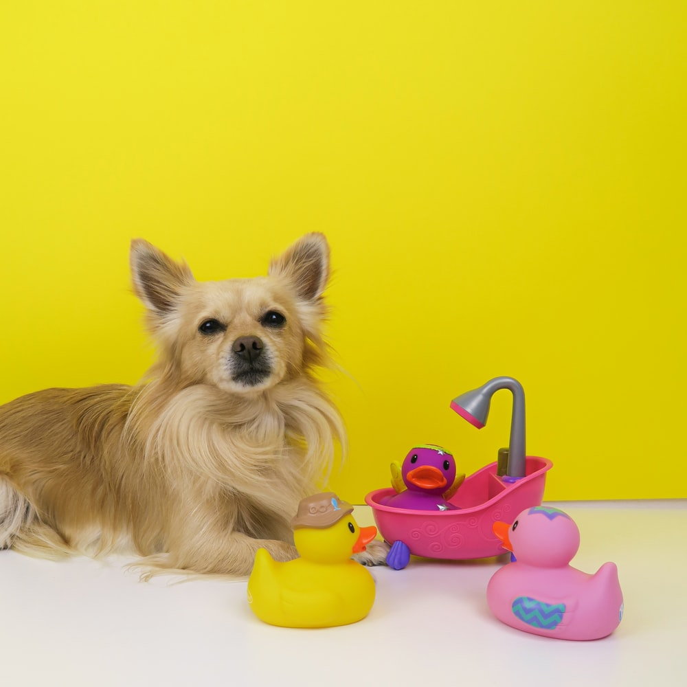 brown chihuahua puppy playing with pink plastic toy