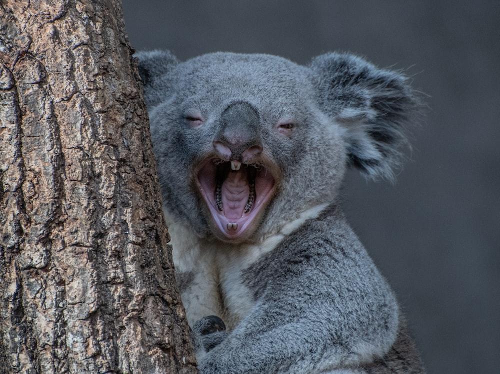 koala bear on brown tree