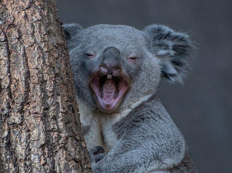 Koala at Noosa Heads