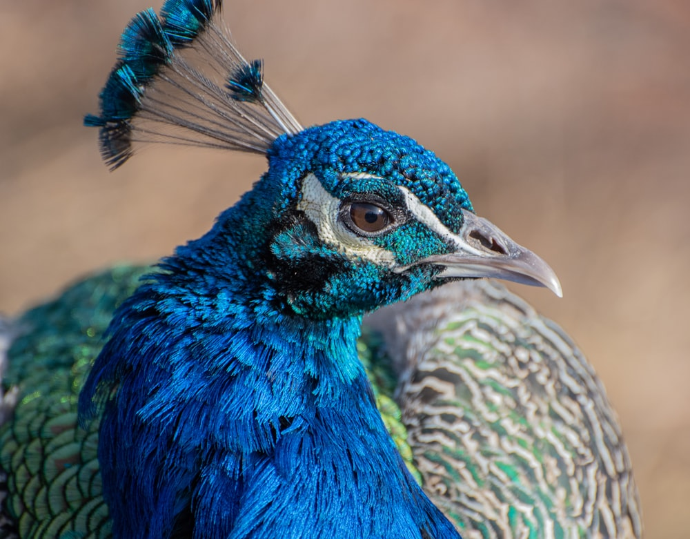 blue peacock in close up photography