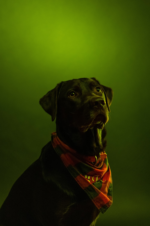 black short coated dog wearing orange and black scarf