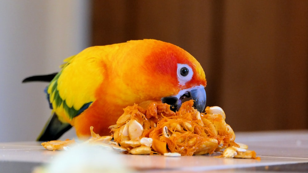 yellow and orange bird eating brown nuts