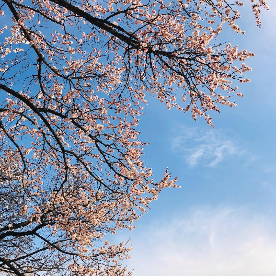 FLOWER BLOSSOM SKY APRICOT BLOSSOM