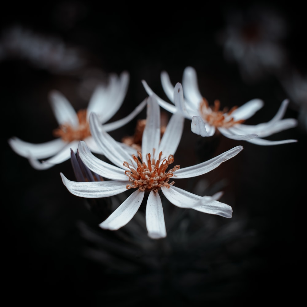 white and red flower in black background